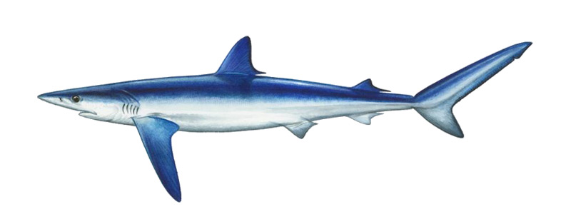 Blue Shark - Big Game Fishing Mauritius