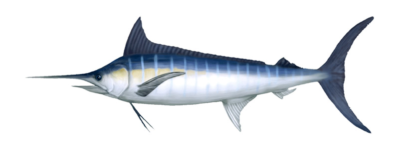 Pacific Blue Marlin