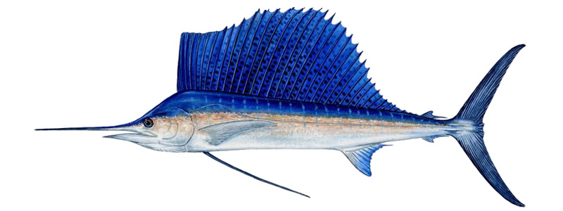 Sailfish - Big Game Fishing - Mauritius