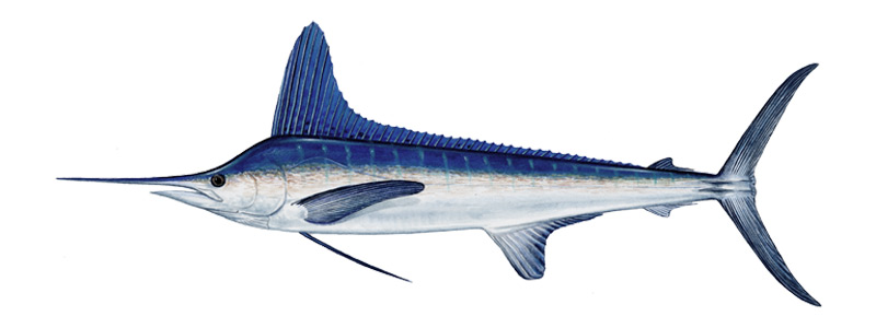 Striped Marlin Fishing Mauritius
